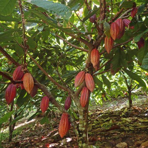 Chocolate seeds growing on a tree in Savusavu, Fiji