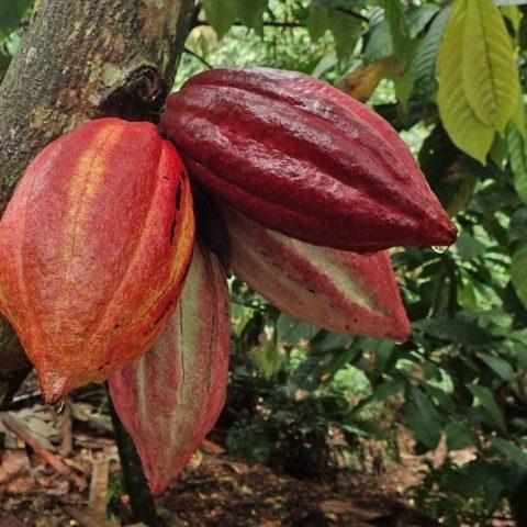Chocolate seed pods growing in the rainforest near Savusavu, Fiji.